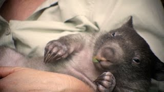 Every wombat needs a mum - chapter 1