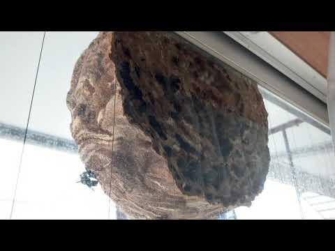 ベランダに出来たスズメバチの巣