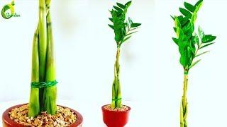 ZZ Plant Growing in Braid Style / ZZ Plant Tabletop Decoration / ZZ Plant feng shui Idea