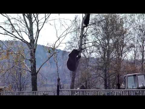 Красноуфимск Медведь лезет за мужиком на березу.