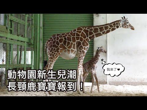動物園新生兒潮〜長頸鹿寶寶報到!