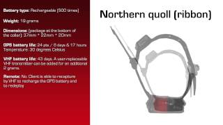 Watch video - GPS Data Logger for Northern Quoll (Ribbon)