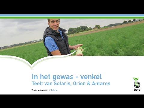 BEJO | In het gewas - Venkel | Teelt van Solaris, Orion & Antares