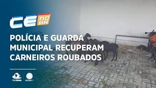 Polícia e Guarda Municipal recuperam carneiros roubados em sítio