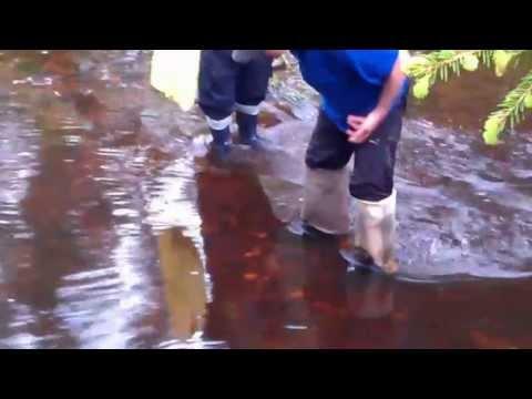 как ловить миногу в реке видео
