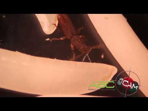 ABC-R Bug Cam: Silvanidae: Oryzaephilus surinamensis (Linnaeus 1758) -- Saw-toothed grain beetle