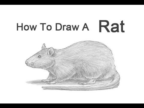 How to Draw a Rat - YouTube