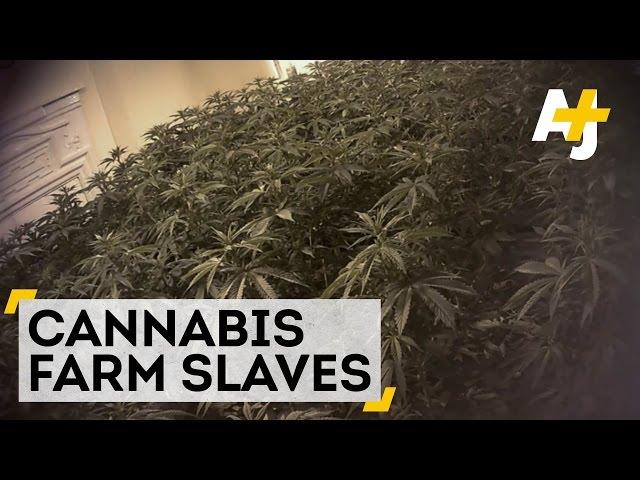 他們跋涉千里、飽受棍杖毒打 卻被賣到英國當大麻「園丁」