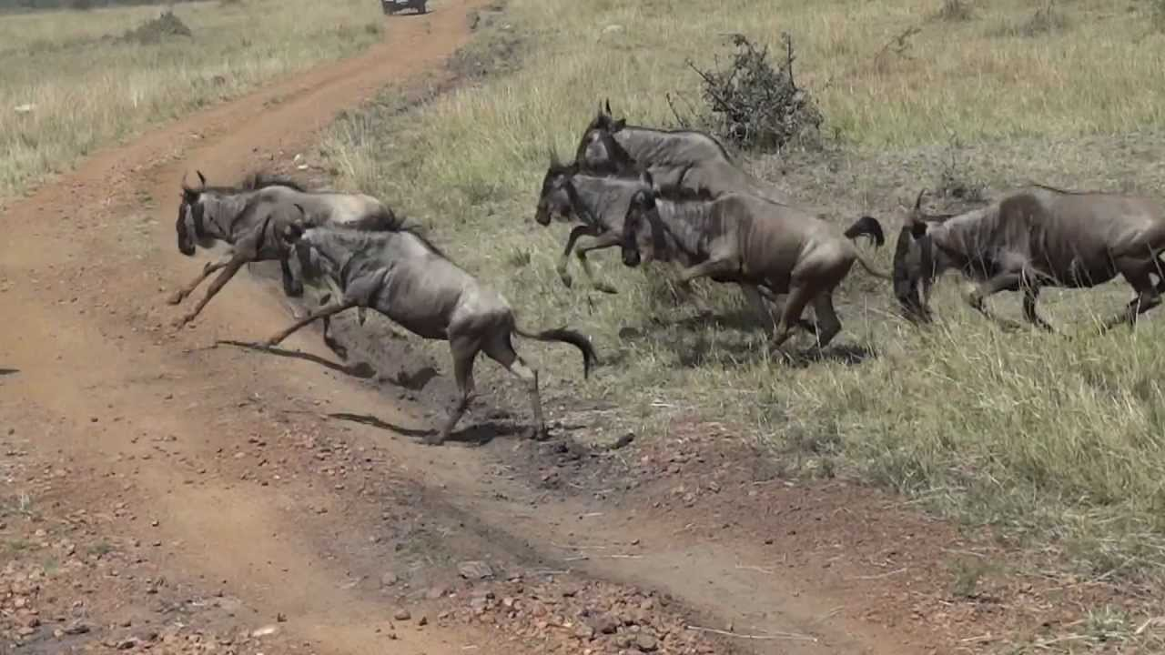 Wildebeest Stampede 1 Youtube