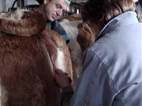 Embiotransfer kod krave 2. deo