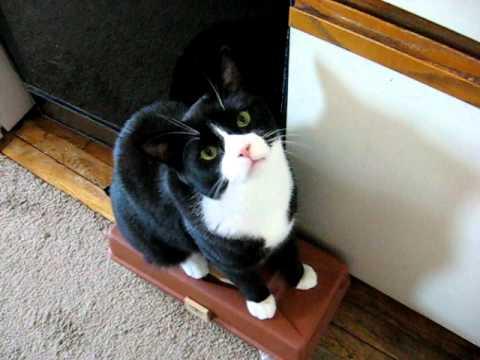 Charlie The 18 Lb Tuxedo Cat Demanding Food Youtube