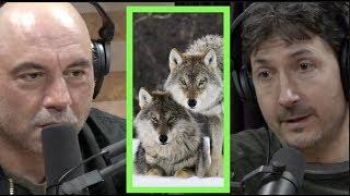 A Pack of Wolves Came After Glenn Villeneuve | Joe Rogan