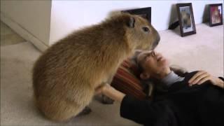 After a Long Absence... Romeo and Tuff'n Capybara 再びカピバラを満たす