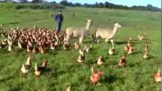 Alpacas Guarding Chickens