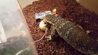 Massive Rat puts up a good fight (live feeding)