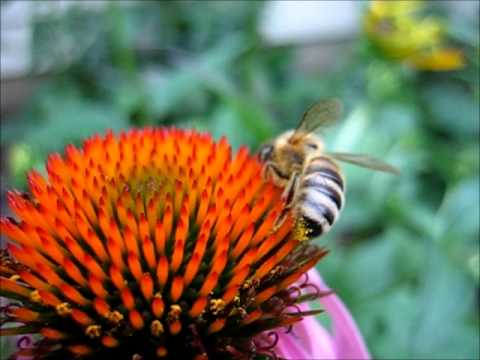 Backyard Beekeeping Part 12(S1:E12): Honeybee Drinking Nectar From Purple Coneflower