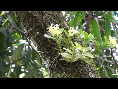 Epidendrum diforme