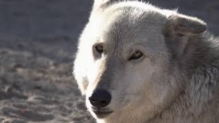 US news - « Wolf connection »