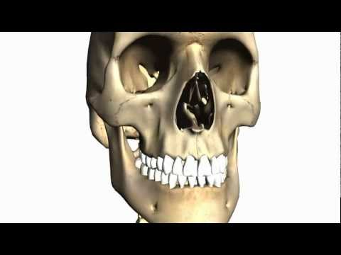 Baixar Foramina of the Skull and Cranial Fossae - Anatomy Tutorial PART 1