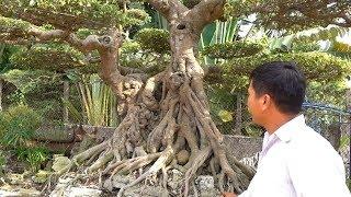 Cây hóa thạch được coi là GIA BẢO của gia đình nghệ nhân - wonderful bonsai of Mr Vu Viet Hoa artist