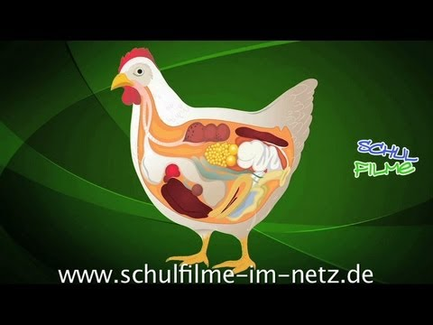Befruchtung Hühnerei