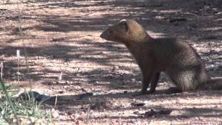 Slender mongoose kills black mamba - FULL VIDEO