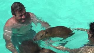 Swimming with Capybaras Romeo and Tuff'n  カピバラと泳ぐ