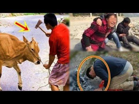 Gi.ế.t bò mổ thịt thì phang búa mãi không ch.ế.t, đúng lúc con dâu đau đẻ bò cũng lăn ra ch.ế.t.