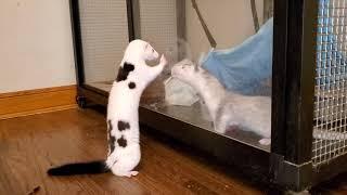 Pet Mink Chichi meets baby mink