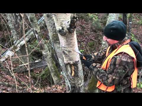 Where to find and harvest chaga