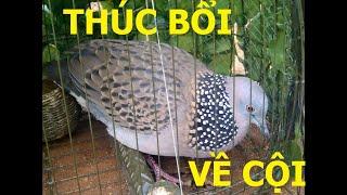 Tiếng chim cu gáy thúc bổi về cội (dùng đi bẫy)