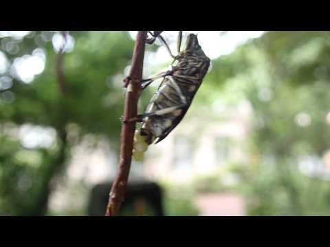 1040527 黃斑椿象在榕樹氣根產卵