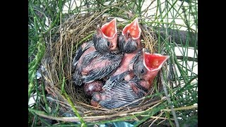 Tổ chim Chòe Than VS tổ chim Chào Mào ngay sau nhà