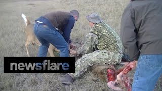 Coyotes attack whitetail deer locked in antlers of another deer.