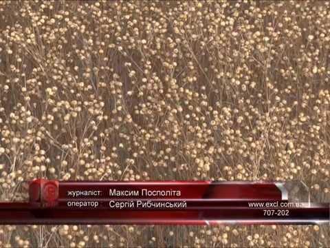 Выращивание льна в корпорации Сварог Вест Груп