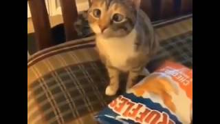 Cute lazy eyed cat wants chips