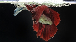 The Complete Betta Fish Life Cycle in 3 Minutes