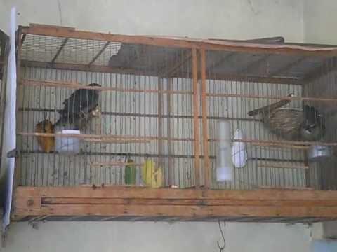 Baixar Trinca ferro k 2 Fêmea tratando dos filhotes