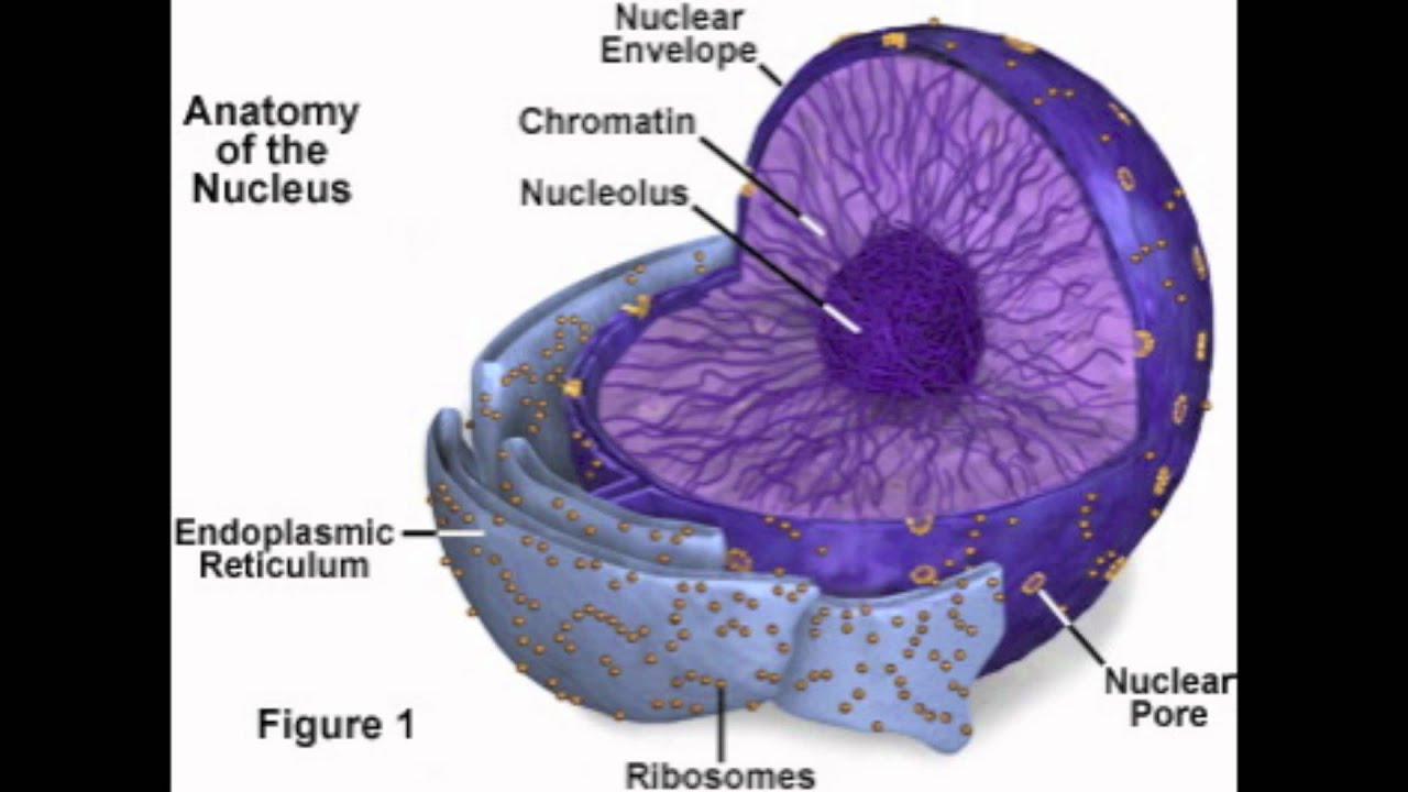 Nucleus, Nucleolus, Nuclear Membrane - YouTube