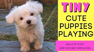 TINY Cute PUPPIES PLAYING [2018 Compilation] - Balls of FLUFF!