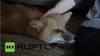 В одной из квартир Новособирска живет лиса