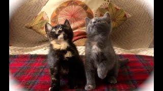 Kitten Jam – Turn Down For What (adorable kittens dancing)