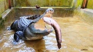 Nơi ở mới của cá sấu, cho cá sấu ăn (Phần 2)