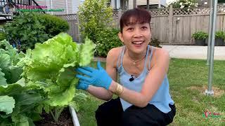 Thu Hoạch Xà Lách Búp, Tươi & To Quá Luôn  🇨🇦309》 Harvesting Head Lettuce | Vườn Rau Việt Ở Canada