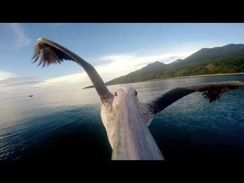 Un pélican apprend à voler