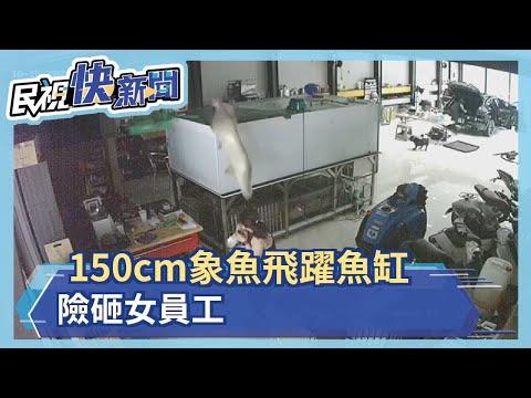 150cm象魚飛躍魚缸 險砸女員工-民視新聞