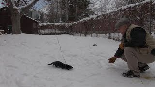 Training a Mink: Days 8  and 9 -  Harnessing Ita