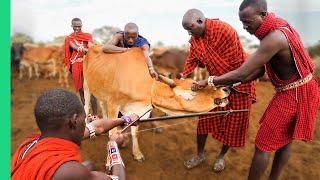 RARE Cow Bleeding ritual in Kenya! (Already Demonetized / Support us on Patreon!)