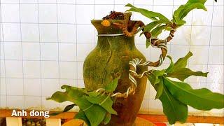 Uốn cây mai vàng mini