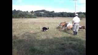 Aparte no curso de pastoreio - Sami, Canil Jucka Pitanga